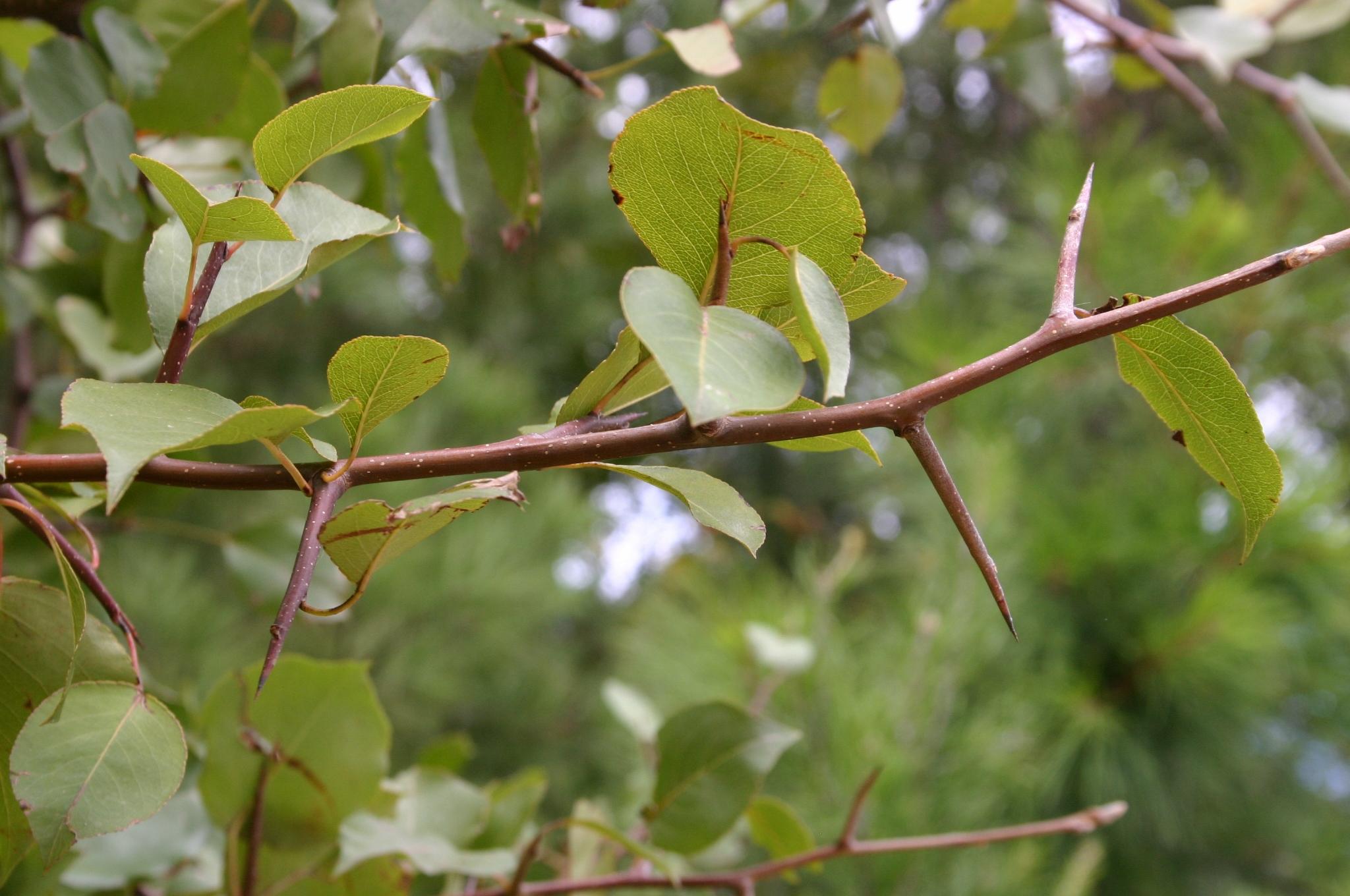 pear callery thorns