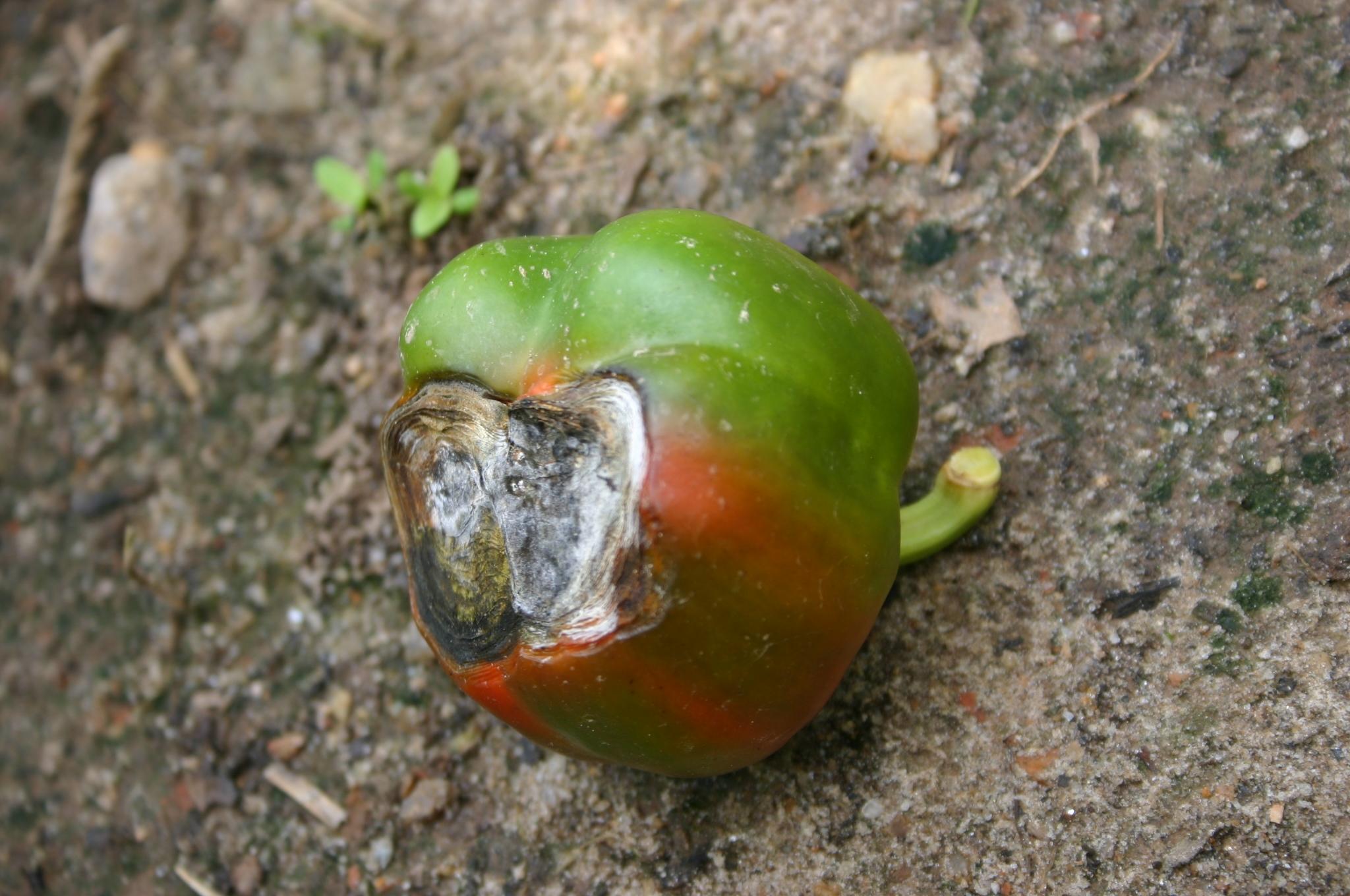 pepper blossom end rot