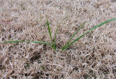 Getting Rid of Ryegrass