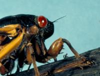 periodical cicada head