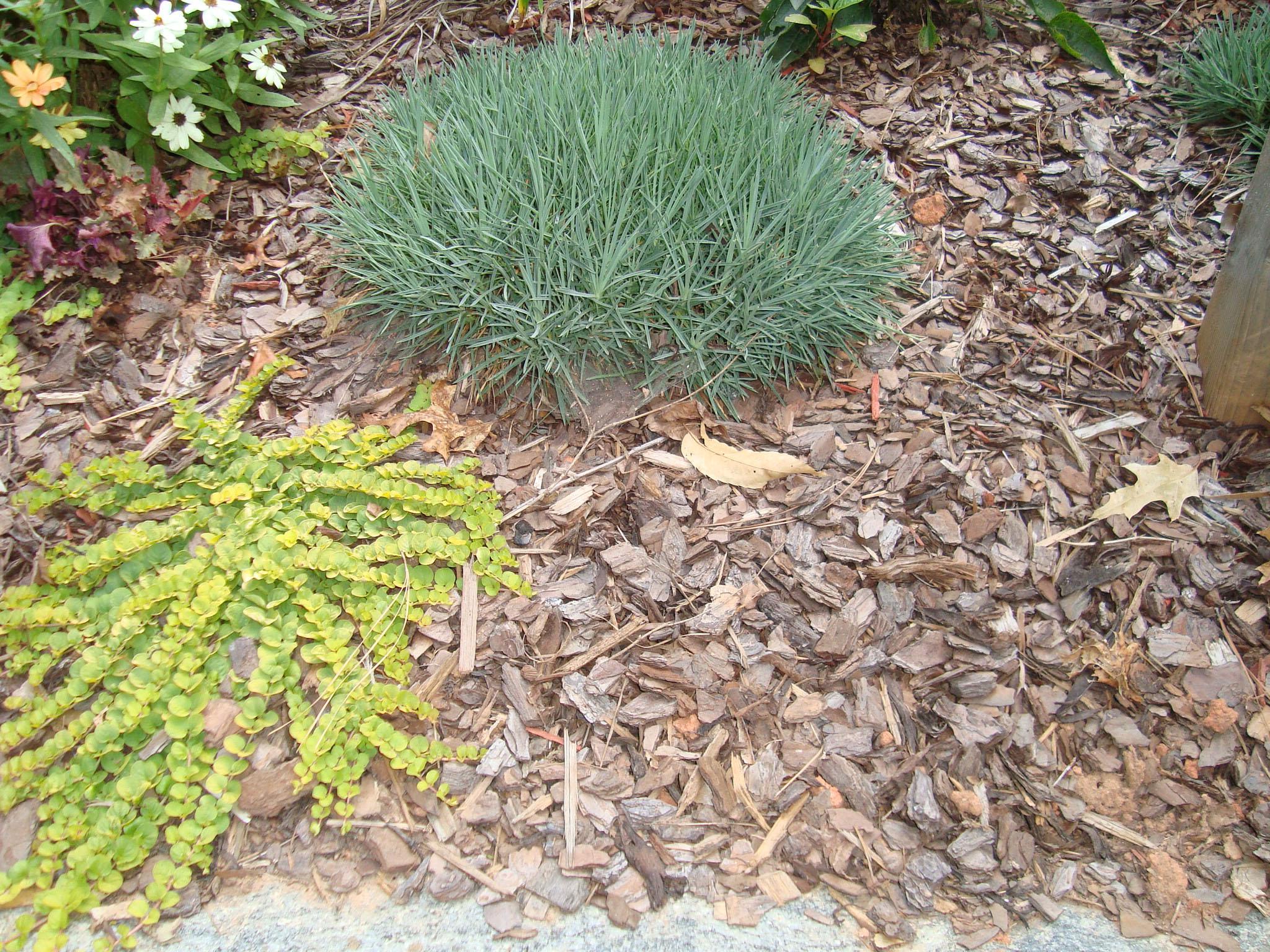 pine chip mulch