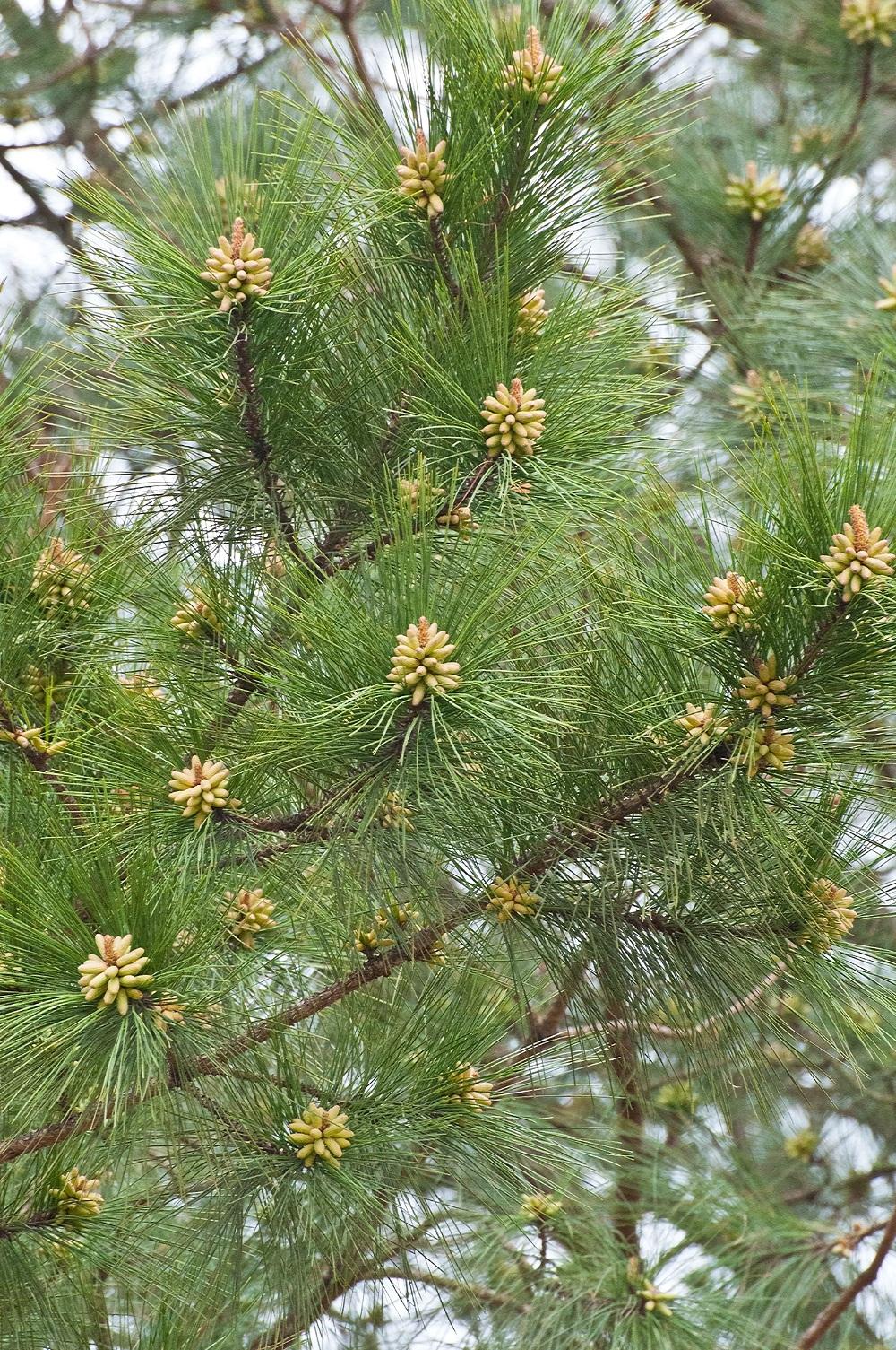 pine cones 4