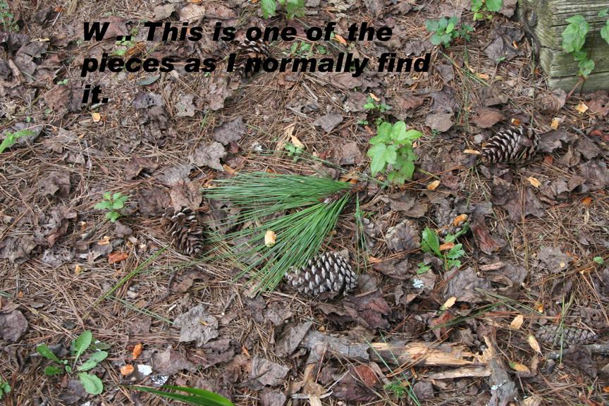 pine needle cluster 1