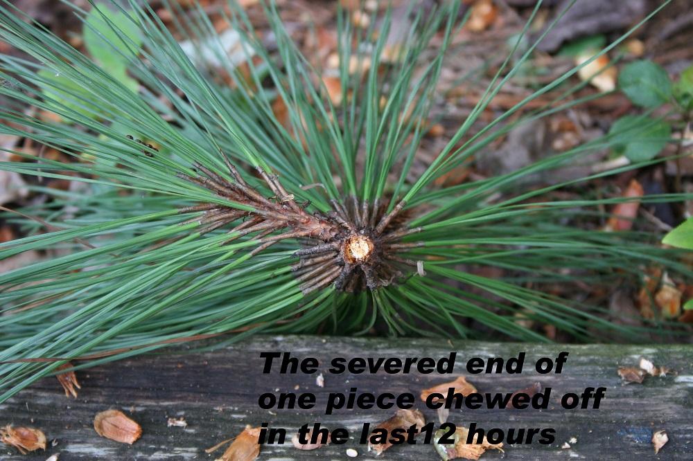 pine needle cluster 2