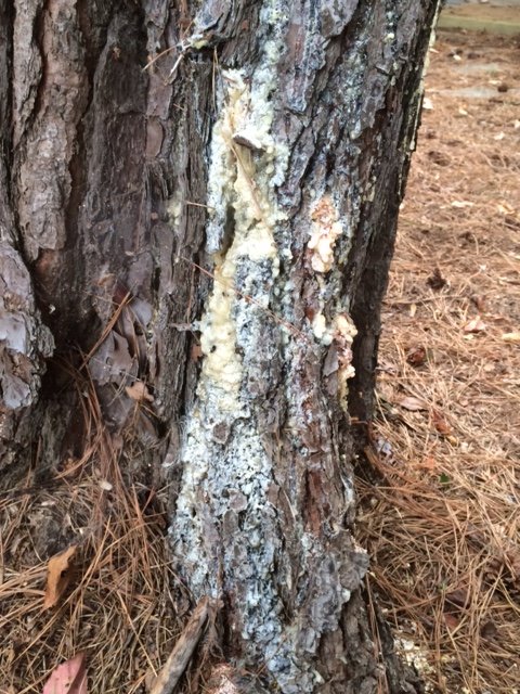pine pitch canker 2