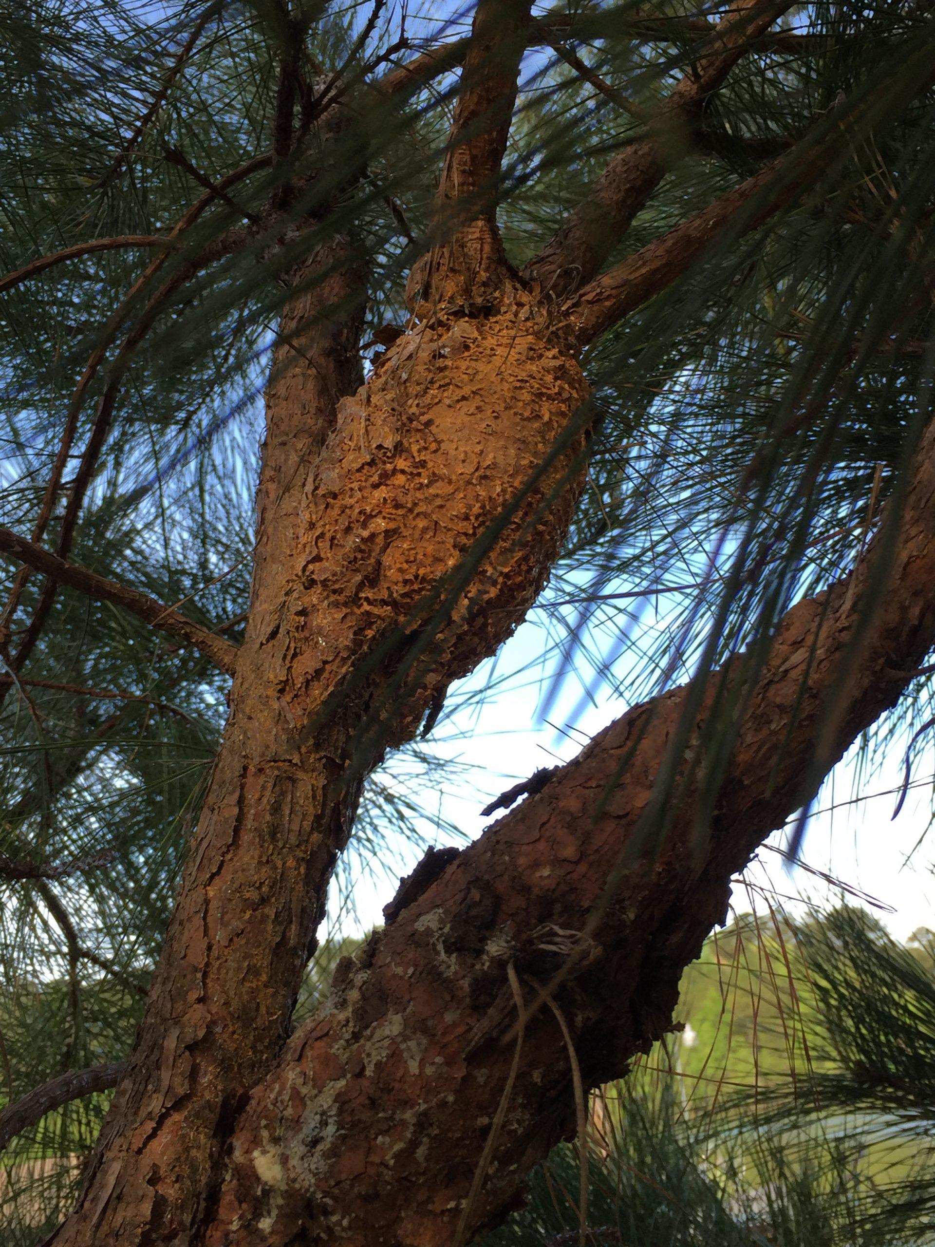 pine rust