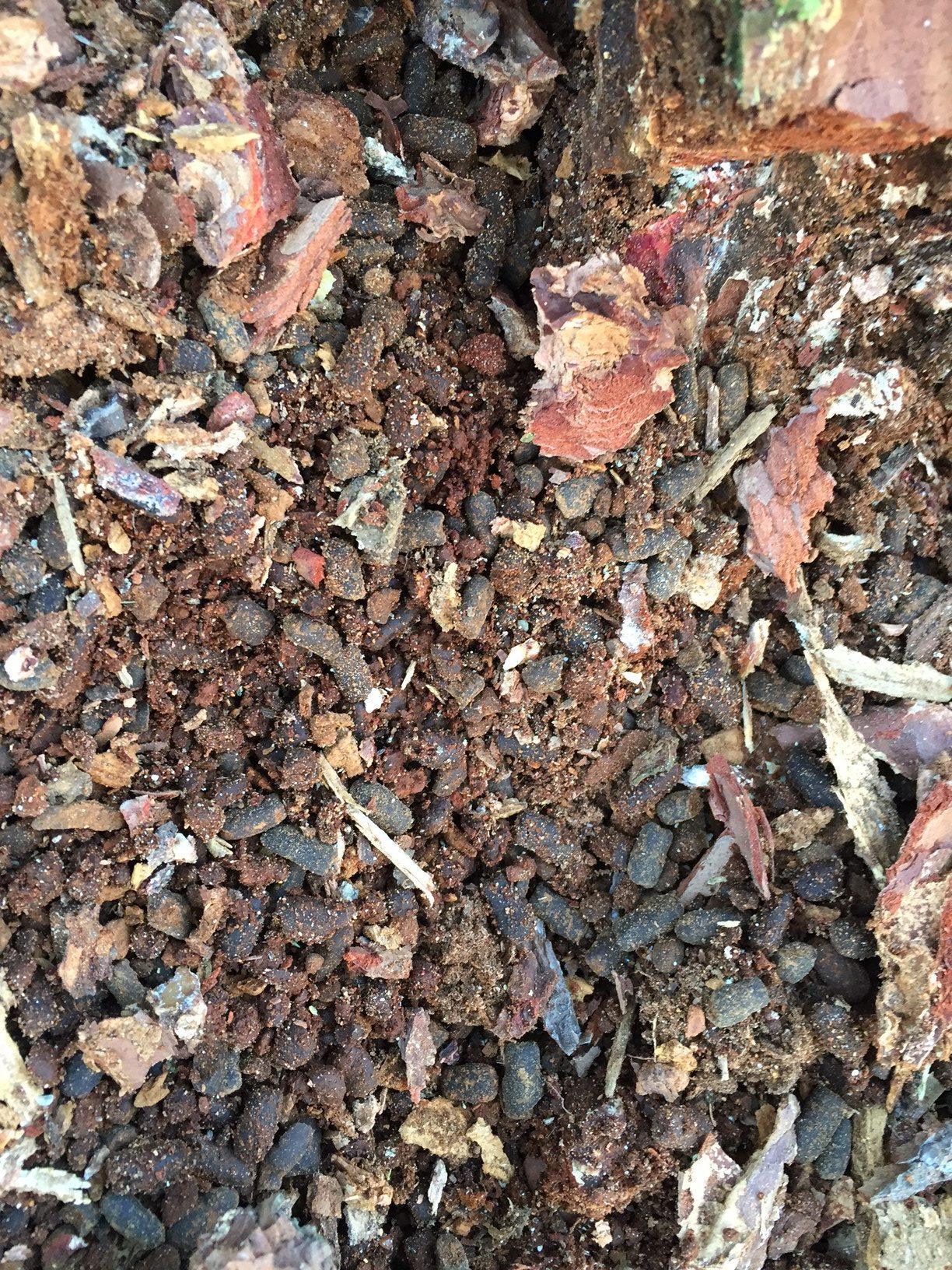 pine termites 3