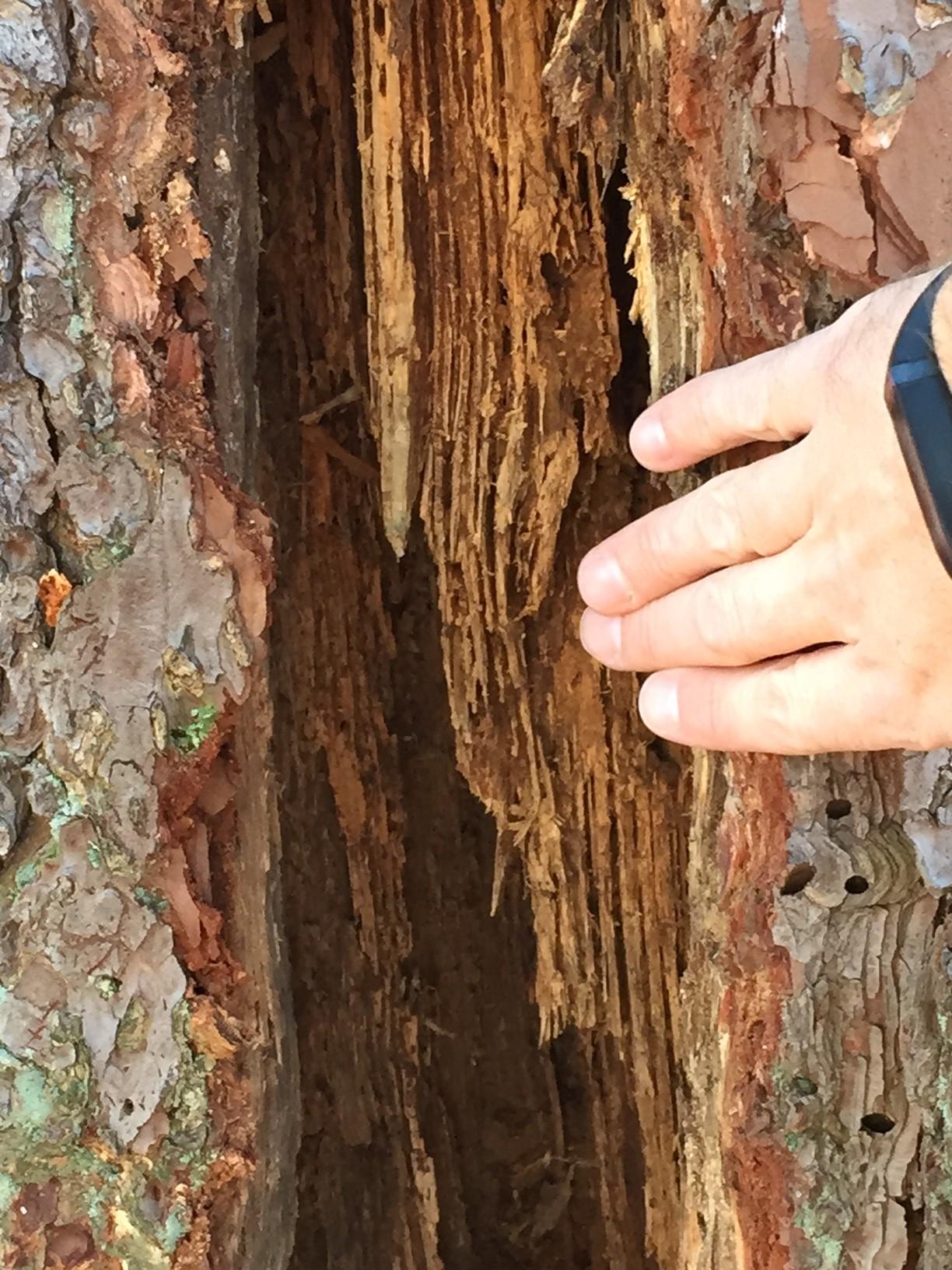 pine termites 5