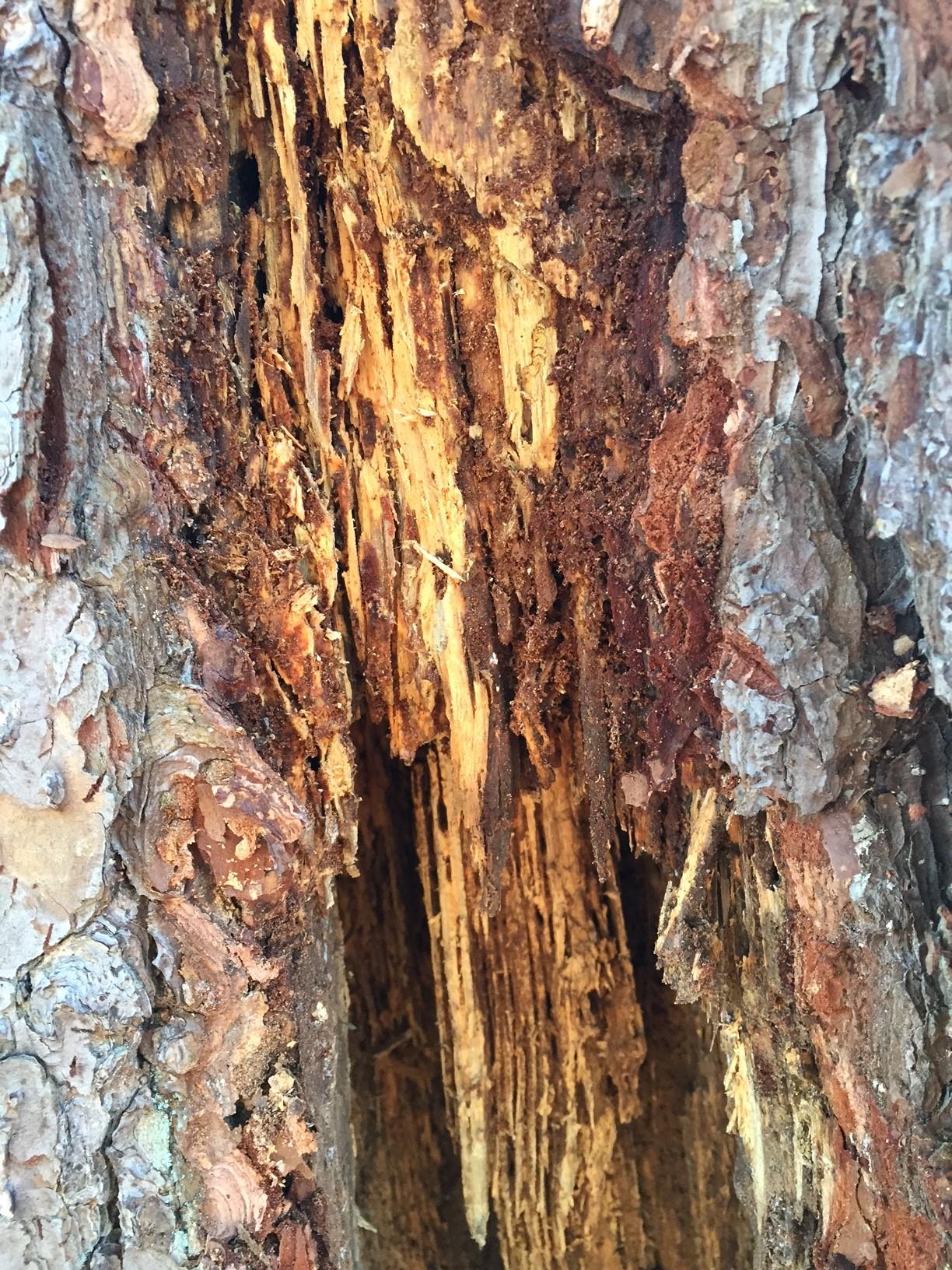 pine termites 7
