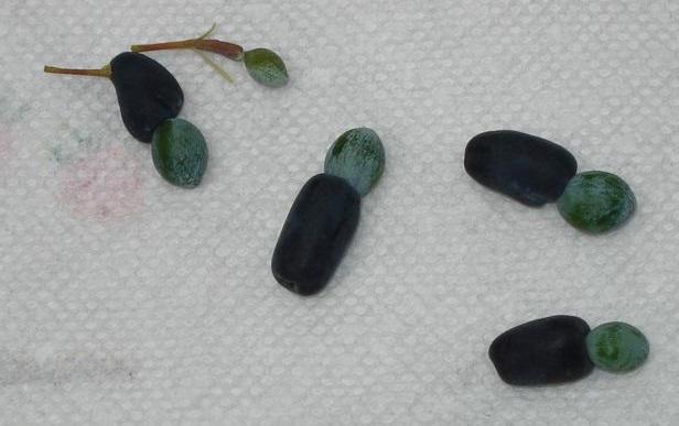 podocarpus fruit