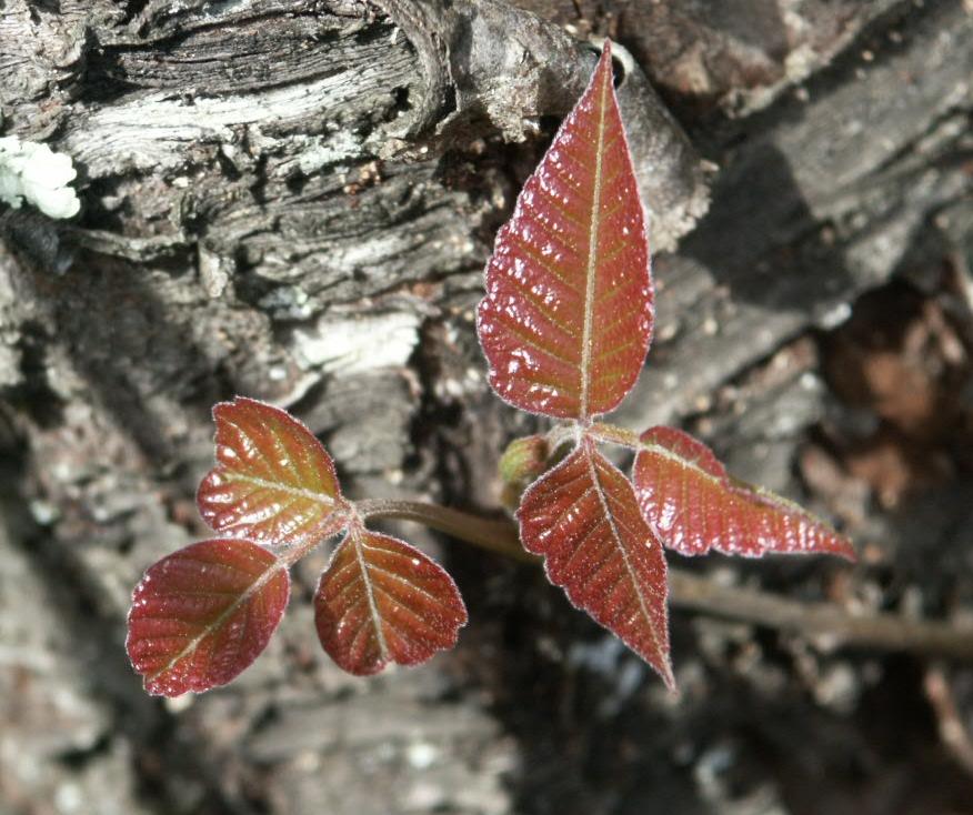 poison ivy seedling