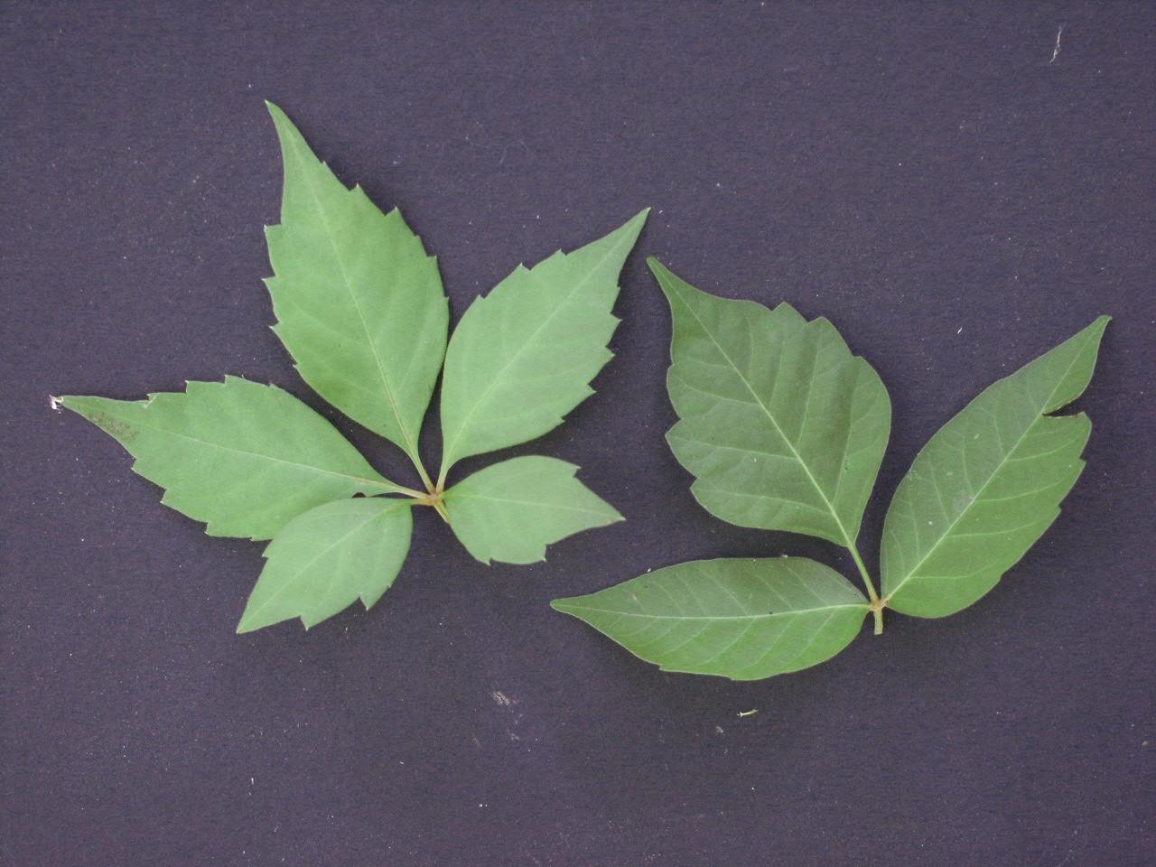 poison ivy virginia creeper