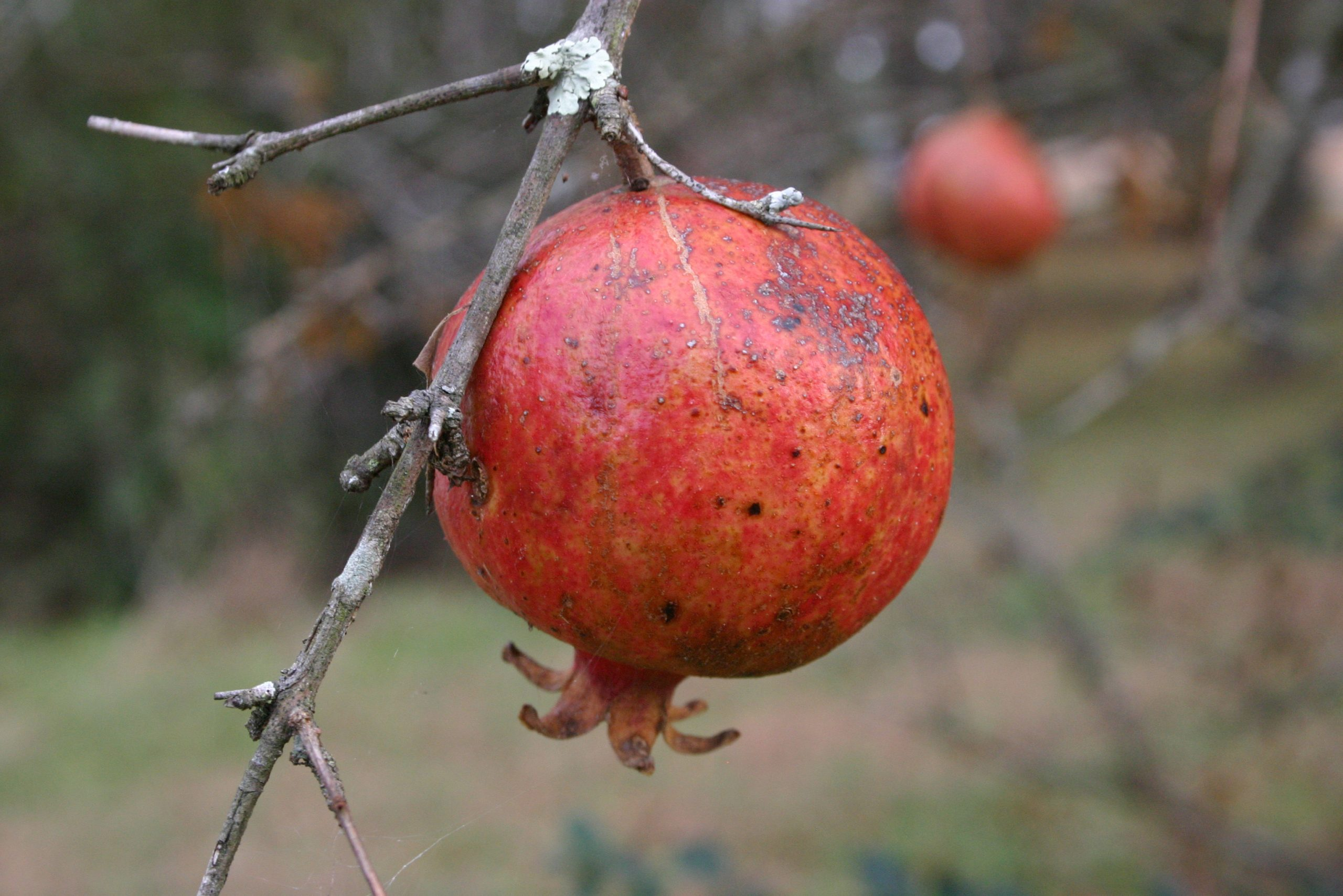 pomegranate 2 (2)