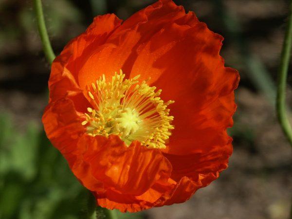 Permit for poppy plants