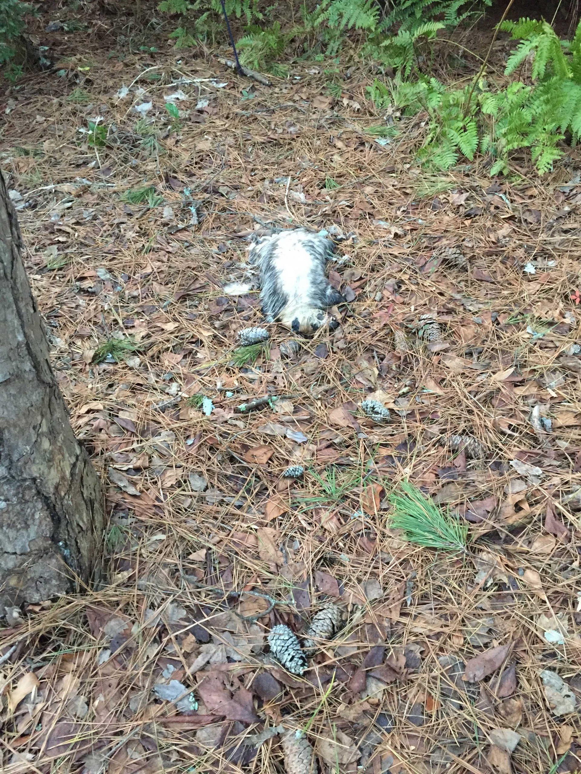 possum dead 1