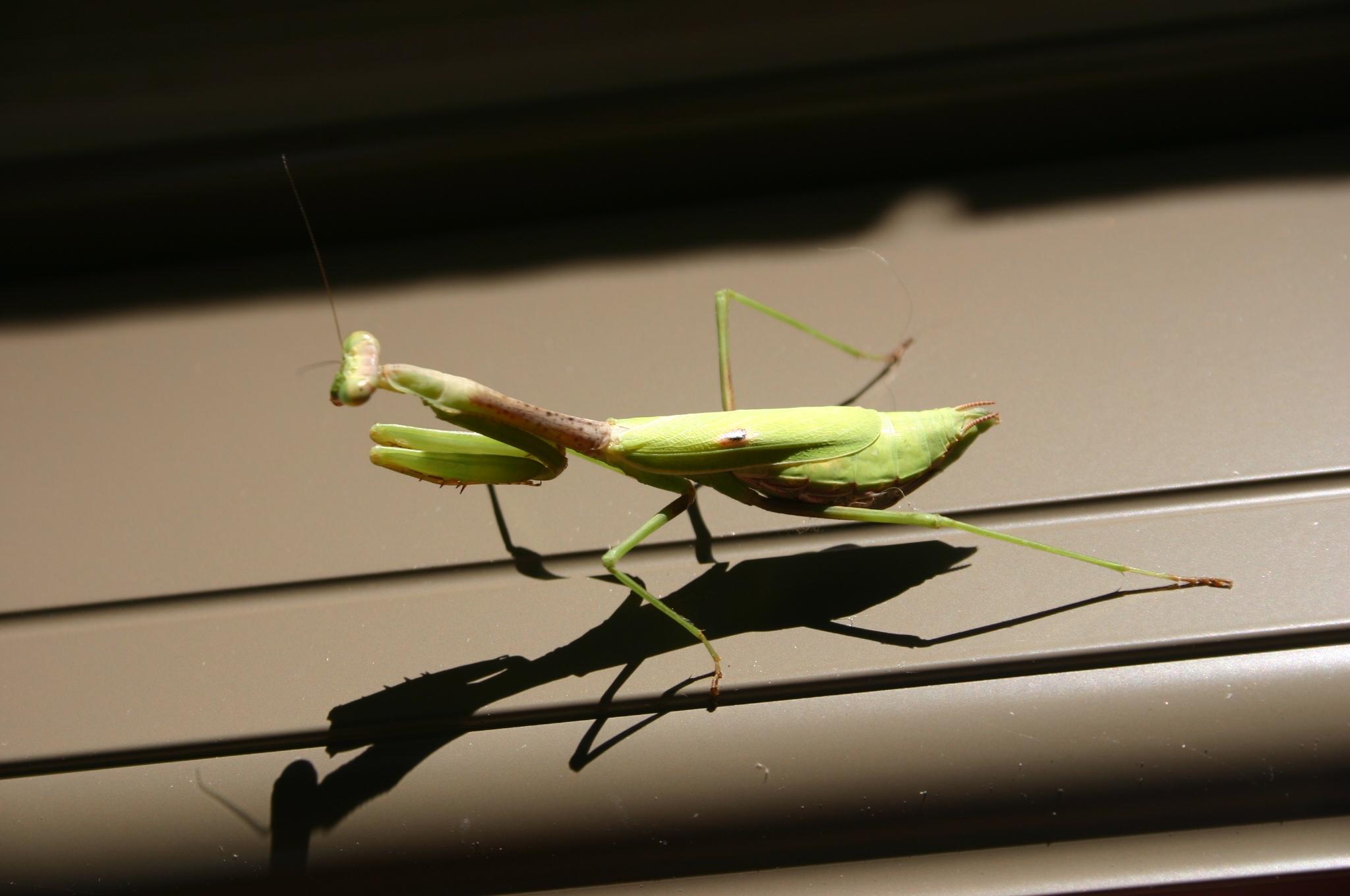 praying mantis 4