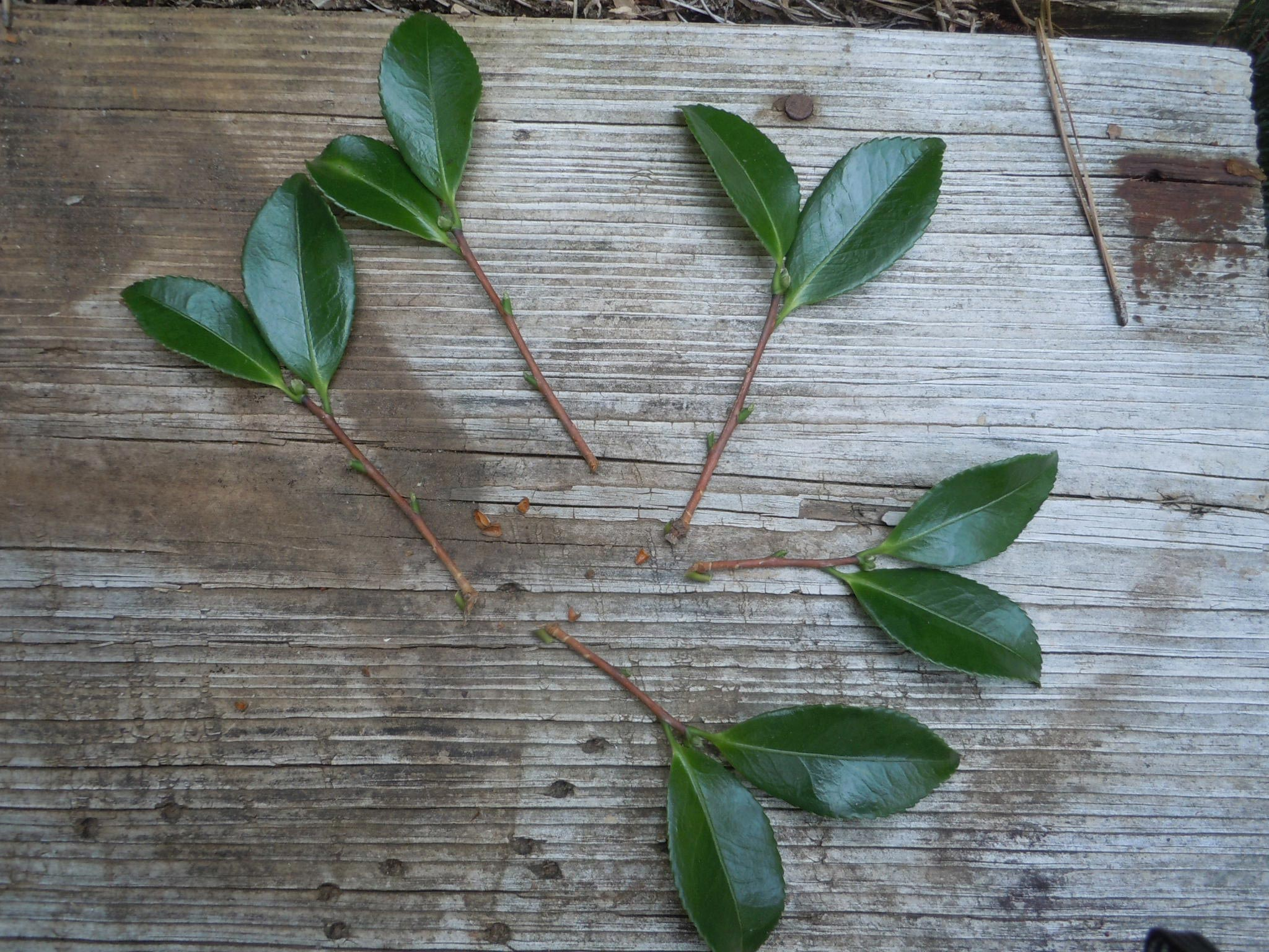 remove lower leaves, leaving only two at the tip