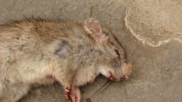 rat mange 1