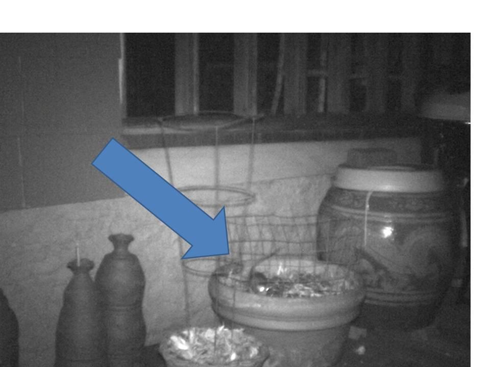 rats eating pansies 2a
