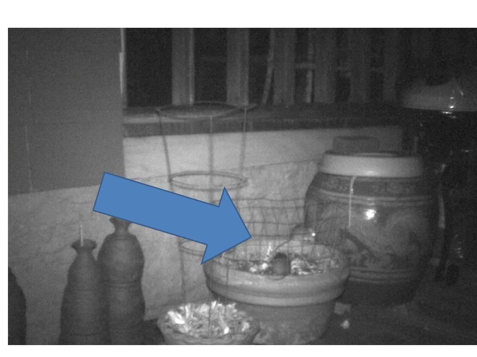 rats eating pansies 2b
