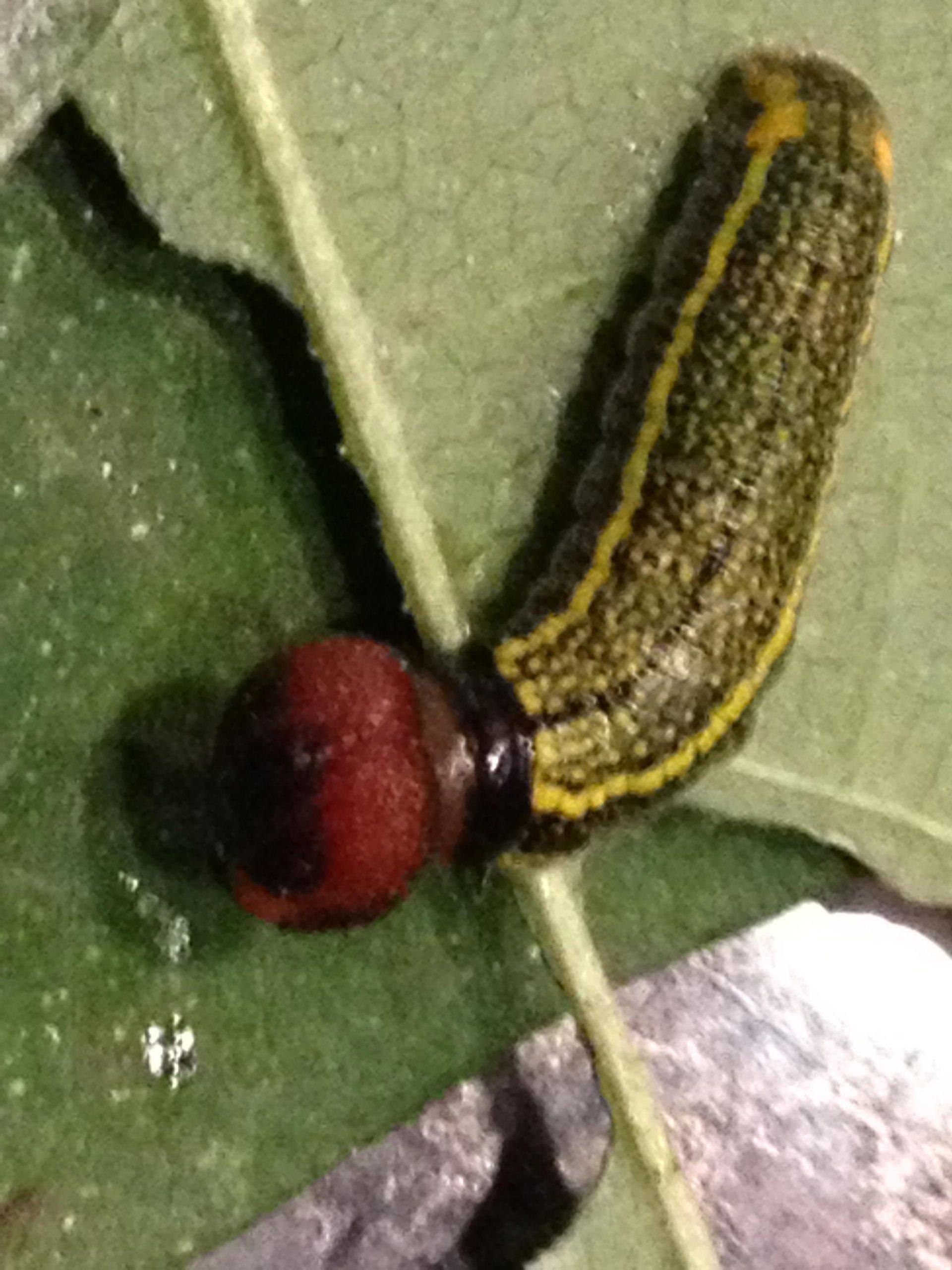 skiff moth caterpillar