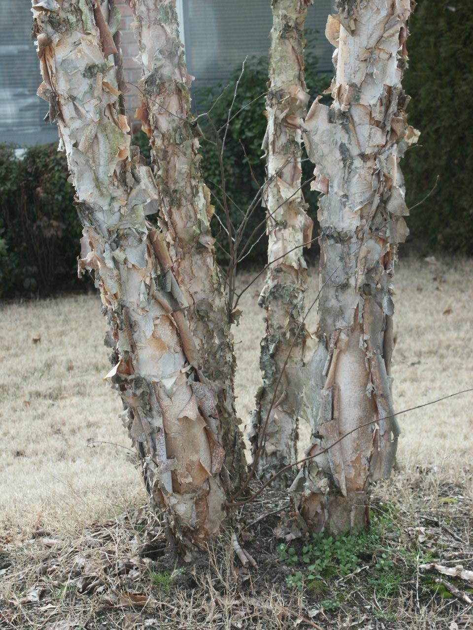 river birch exfoliation