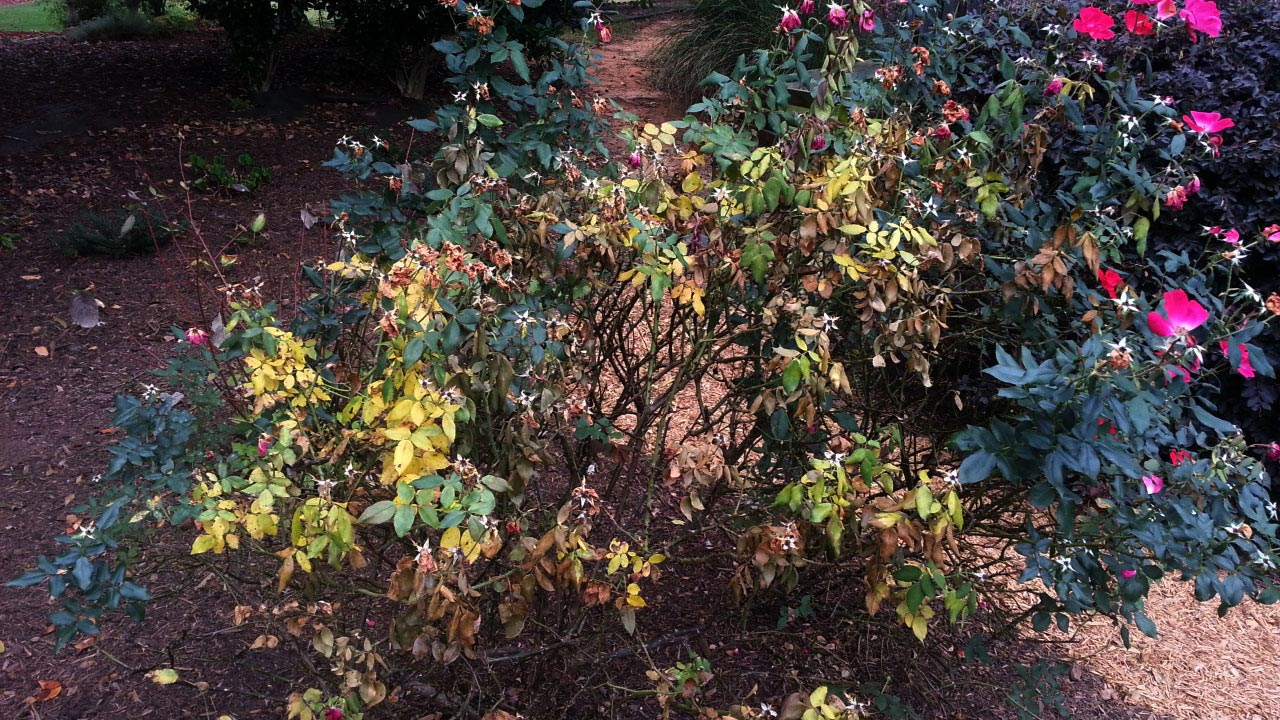 declining Knock Out rose