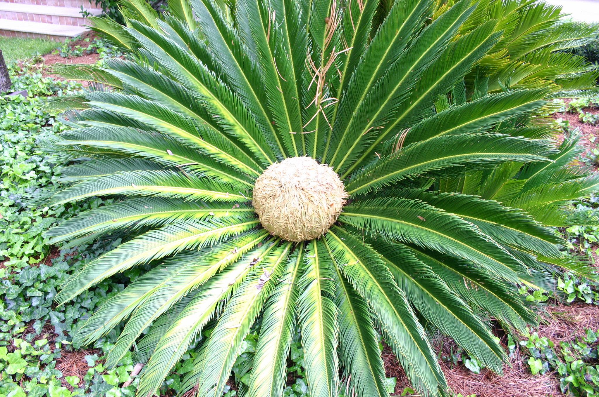 sago palm female