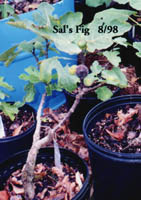 Photo of a Sal's Fig fruit