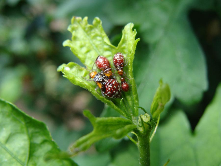 seed bugs on Rose of Sharon
