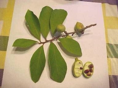 smallflower pawpaw