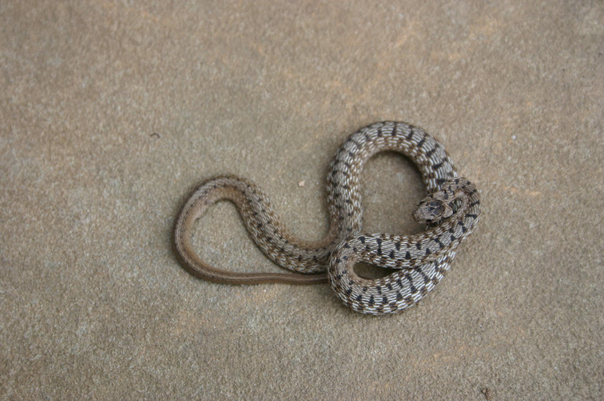 DeKay's snake (garden brown snake)