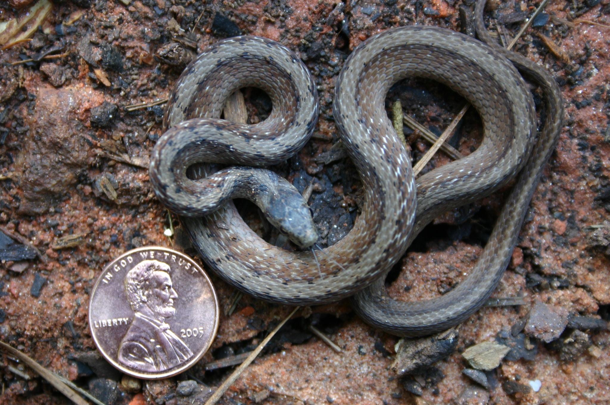 brown garden snake