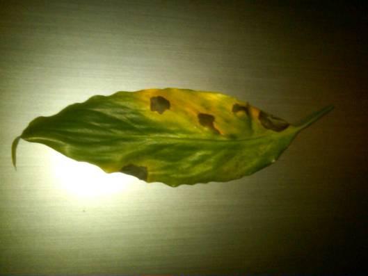 spathyphylum leaf spot