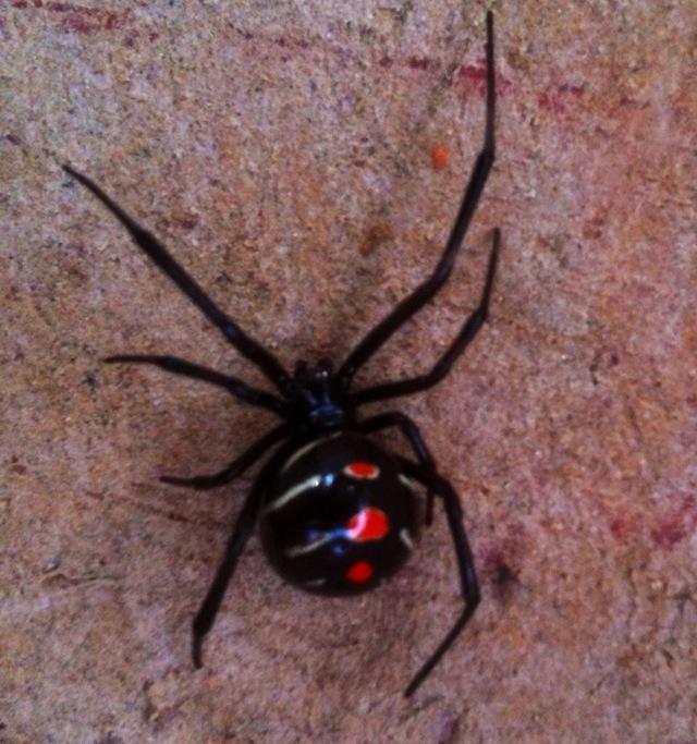 spider black widow male