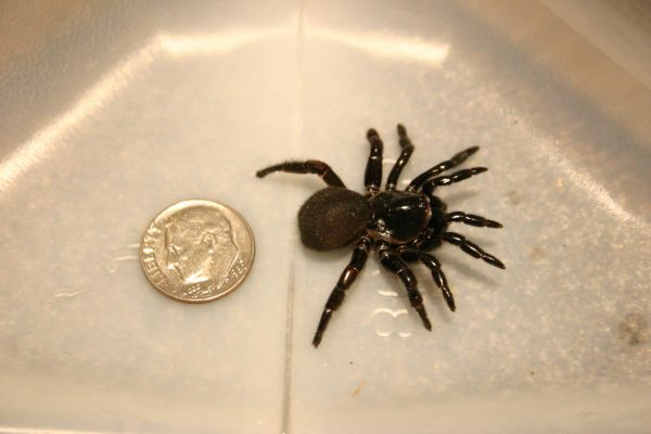 trap door spider