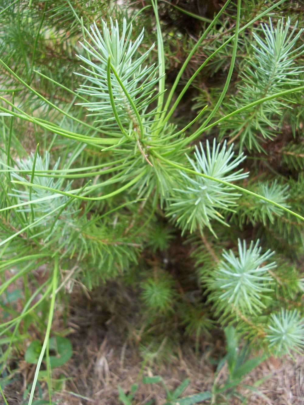 Italian stone pine - juvenile foliage and mature foliage