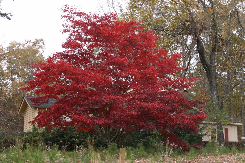 sq_japanese maple red