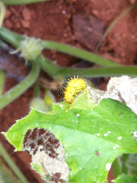 squash beetle larvae on leaf