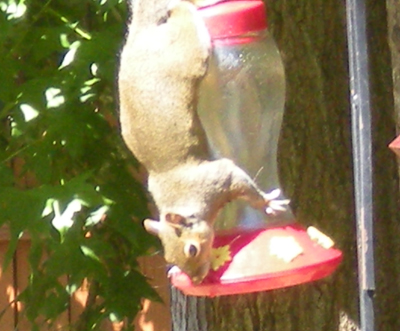 Squirrels eating peaches