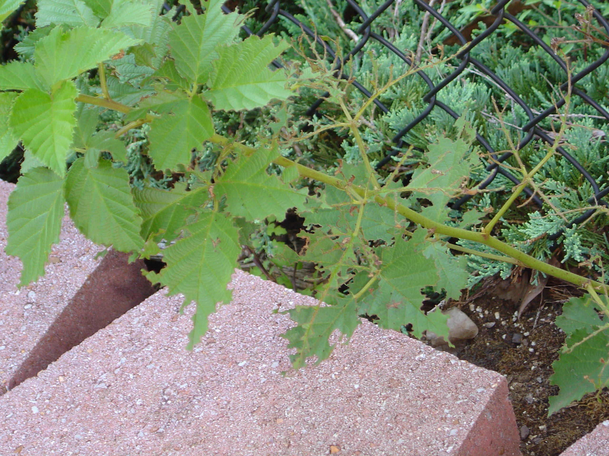 strawberry weevil