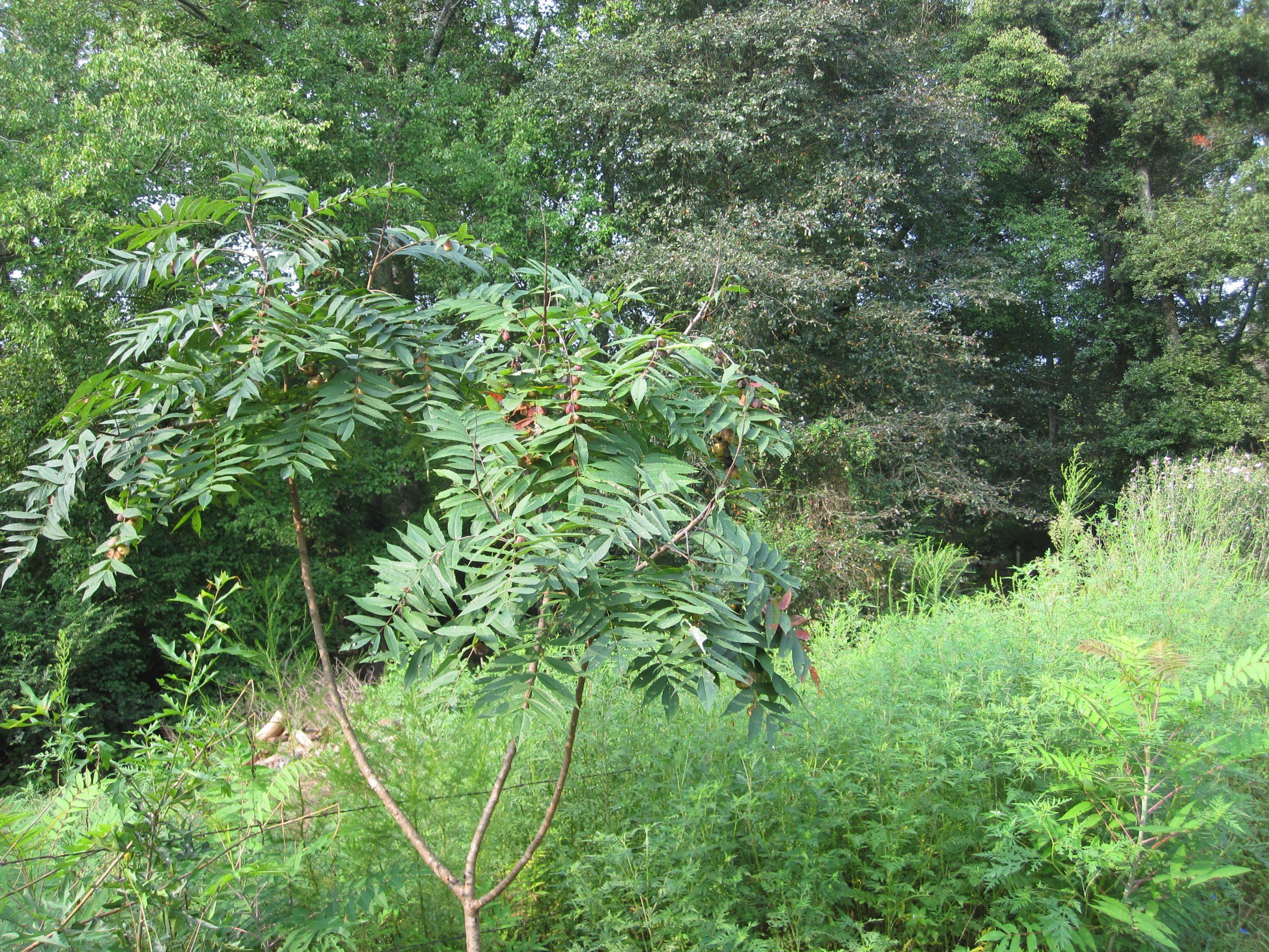 sumac with leaf galls
