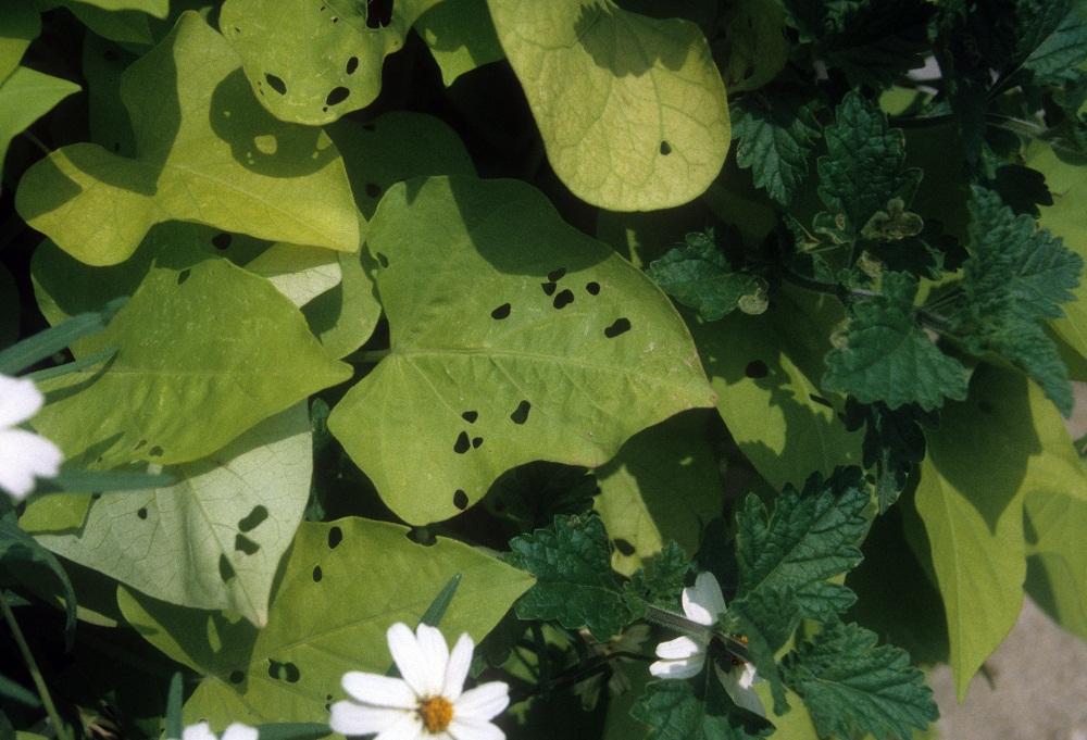 tortoise beetle damage - holes in leaves