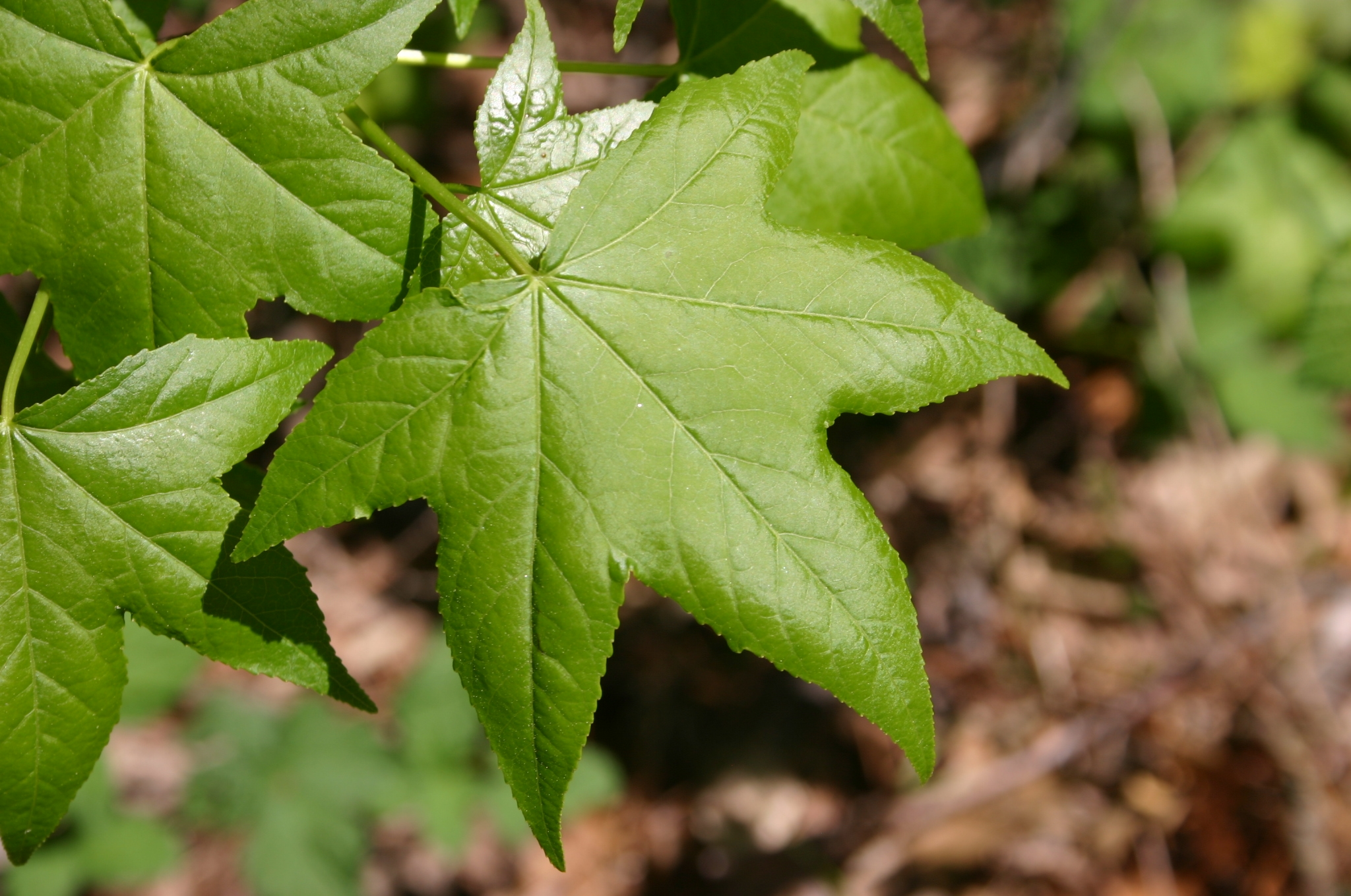 sweetgum leaf 2