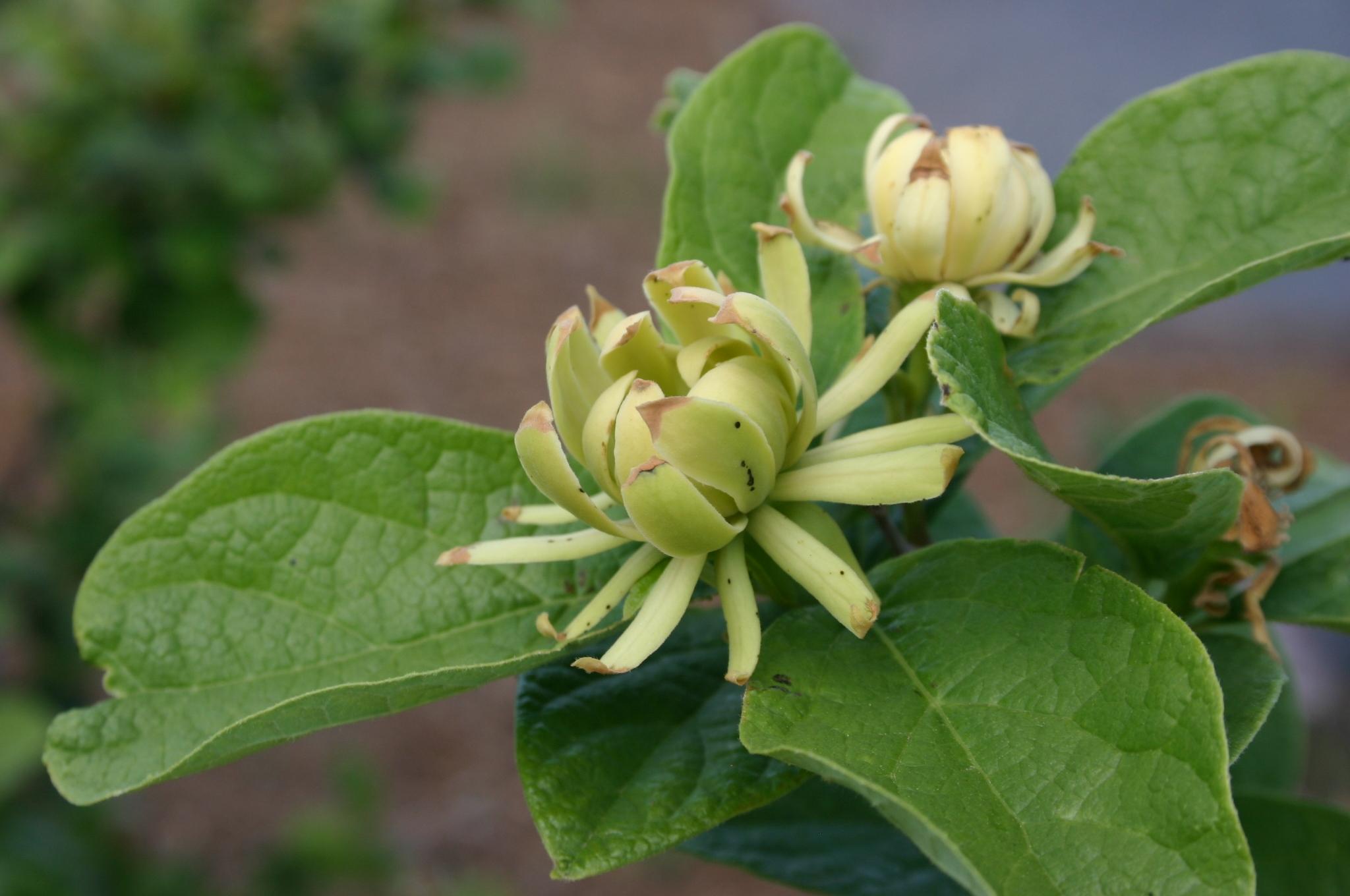 sweetshrub yellow 4