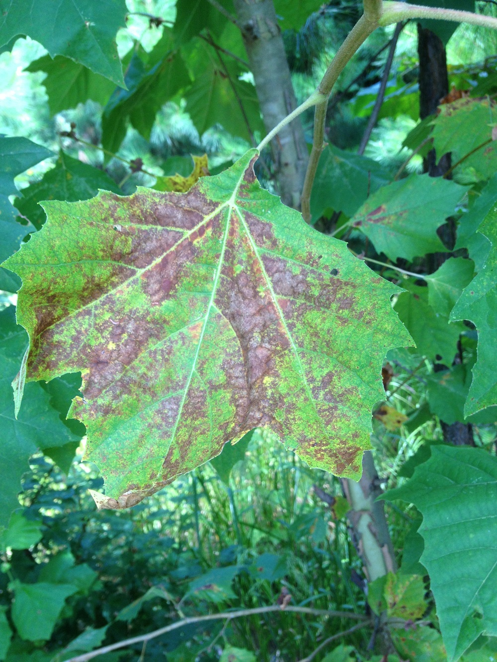 sycamore leaf scorch