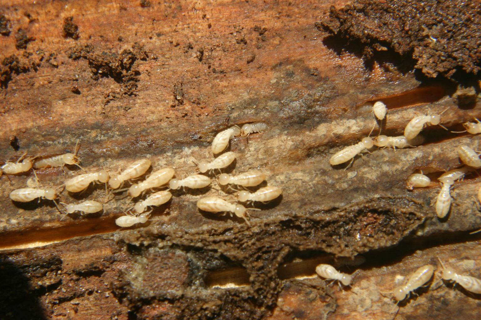 immature termites