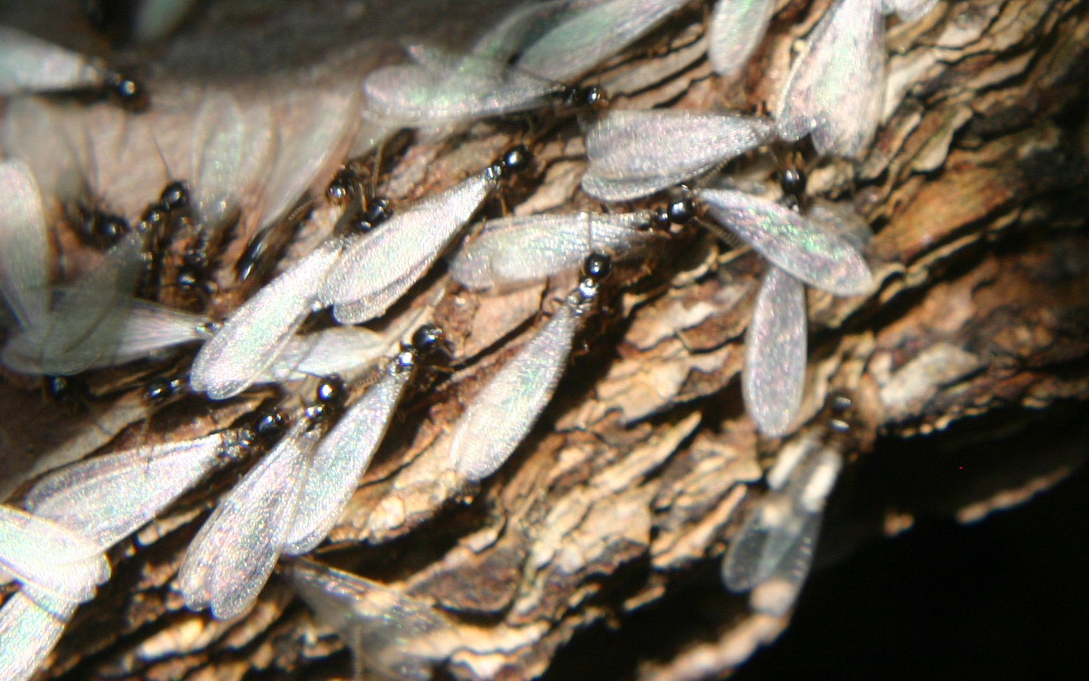 reproductive termites