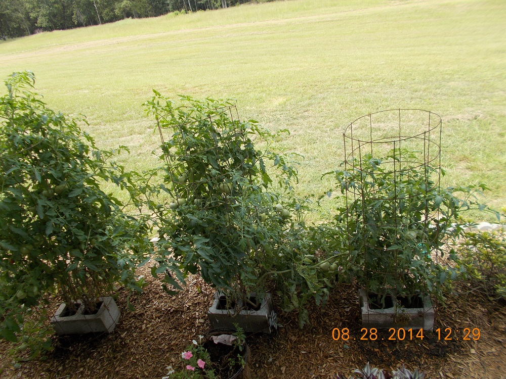 tomato growing in cinderblocks 1