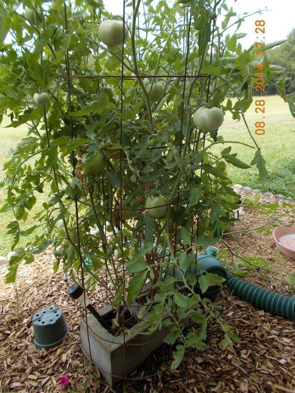Thunderstorm knocked over tomato vine